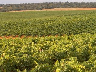 Planes de reestructuración y reconversión de viñedo