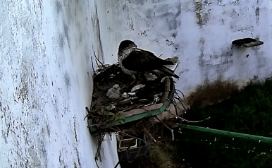 Nacen dos pollos de águila perdicera en CERI de Sevilleja de la Jara, siendo el tercer año que se produce la cría en cautividad mediante fecundación natural en este centro