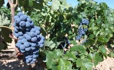 El Gobierno de Castilla-La Mancha abona más de 650.000 euros a titulares de explotaciones de Ciudad Real dedicadas a la agricultura ecológica